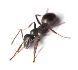 pest ant