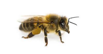 pest bee