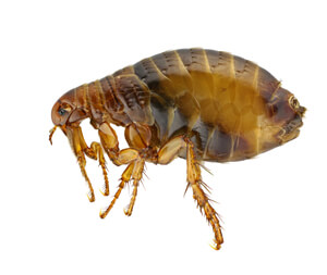 pest flea
