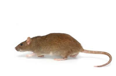 pest rat