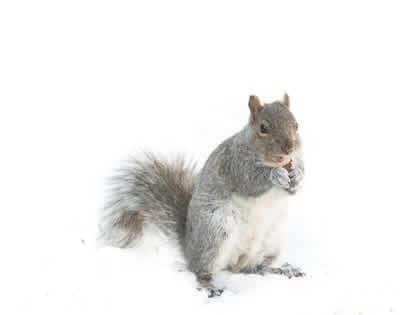 pest squirrel
