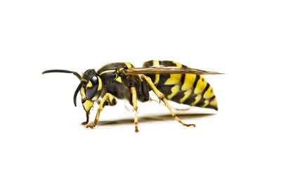 pest wasp
