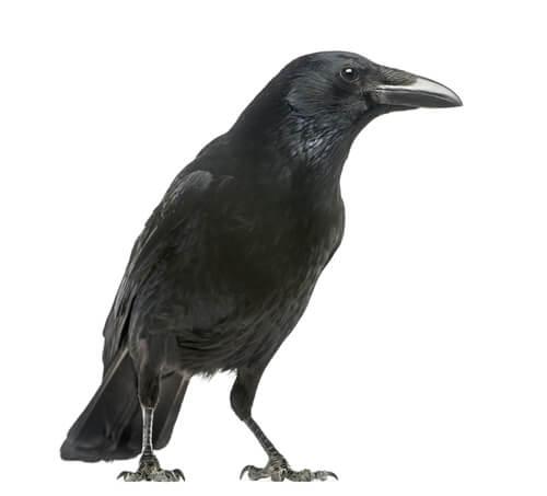 crows pest control