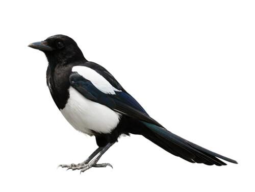 magpies pest control
