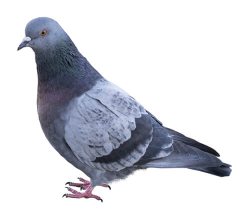 pigeon control